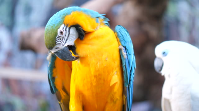 close-up:parrot macaw - becco video stock e b–roll