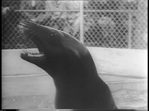 vídeos de stock, filmes e b-roll de close-ups of three sea lion brothers / they follow trainer up some steps / one balances a baton / another moves around balancing a ball / they do... - organismo aquático