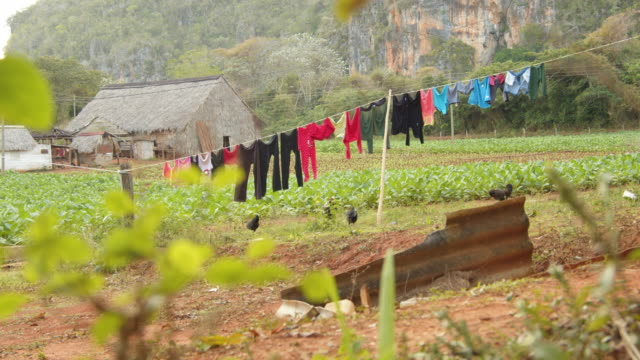 clothes hanging at viñales valley, pinar del río, cuba. tobacco plantation and drying hut iconic image on the background - clothesline stock videos & royalty-free footage