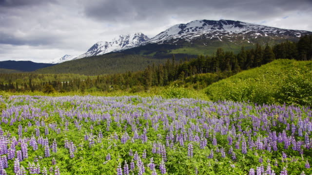 cloud pass over a meadow of wildflowers in chugach national forest. - chugach national forest stock videos & royalty-free footage
