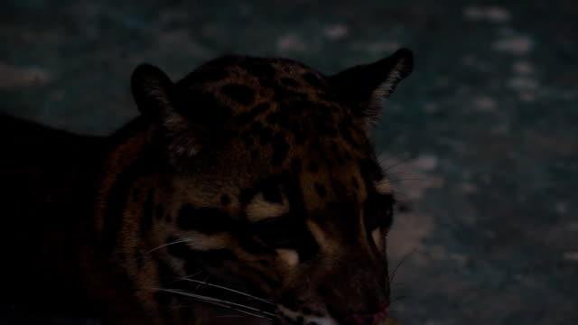 cloud-tiger - nebelparder stock-videos und b-roll-filmmaterial