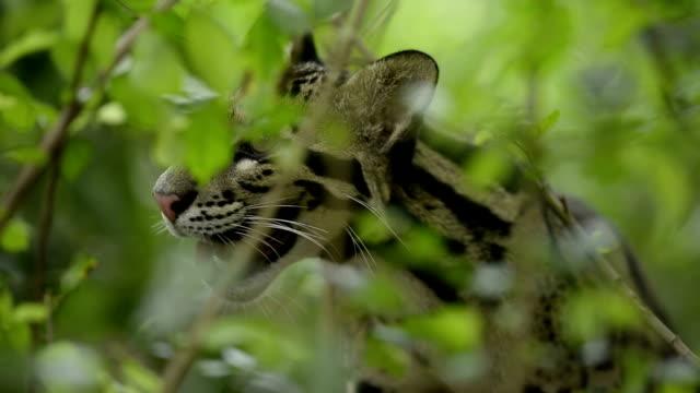nebelparder (neofelis nebulosa) - nebelparder stock-videos und b-roll-filmmaterial