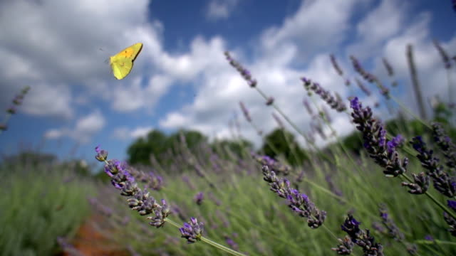 Clouded yellow butterfly on lavender