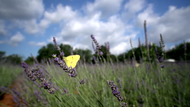 clouded yellow butterfly on lavender - yellow stock videos & royalty-free footage