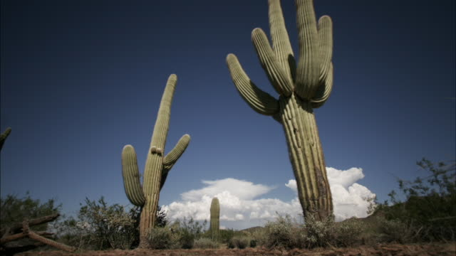 Clouds billow behind saguaro cacti in the Sonoran Desert. Available in HD.