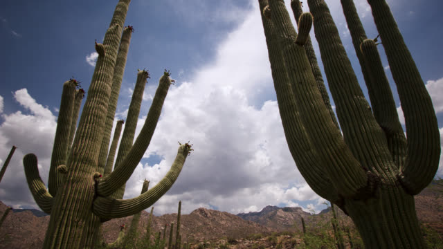 tl clouds billow over saguaro cacti, arizona, usa - cactus video stock e b–roll