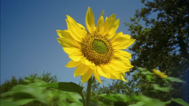 Clouds cast shadows on a sunflower.