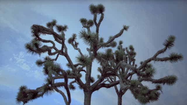 clouds drift above a joshua tree. - yucca stock videos & royalty-free footage