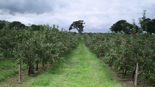 tl clouds drift over cider apple orchard, uk - apple orchard stock videos & royalty-free footage