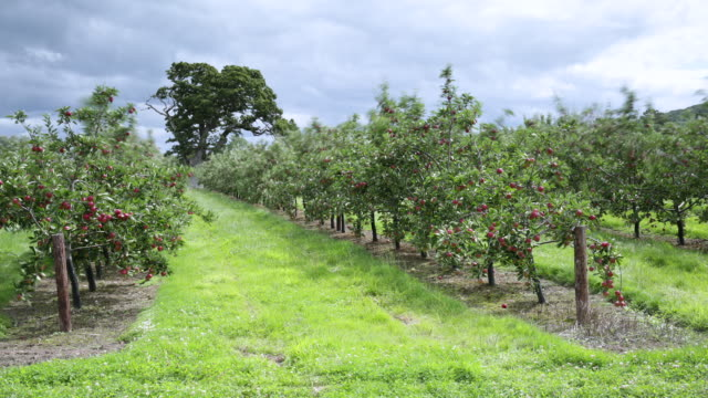 tl clouds drift over cider apple orchard, uk - orchard stock videos & royalty-free footage