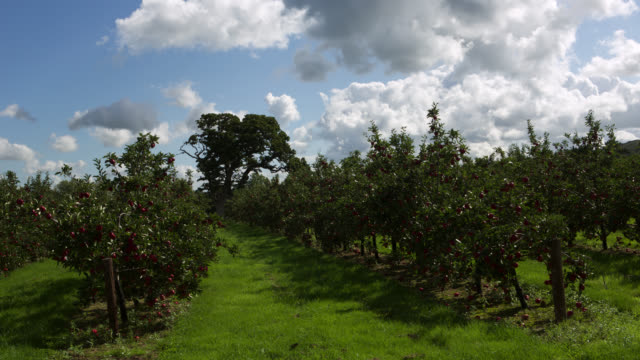 tl clouds drift over cider apple orchard, uk - fruit tree stock videos & royalty-free footage