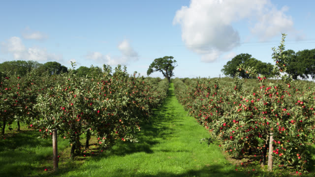 tl clouds drift over cider apple orchard, uk - apple fruit stock videos & royalty-free footage