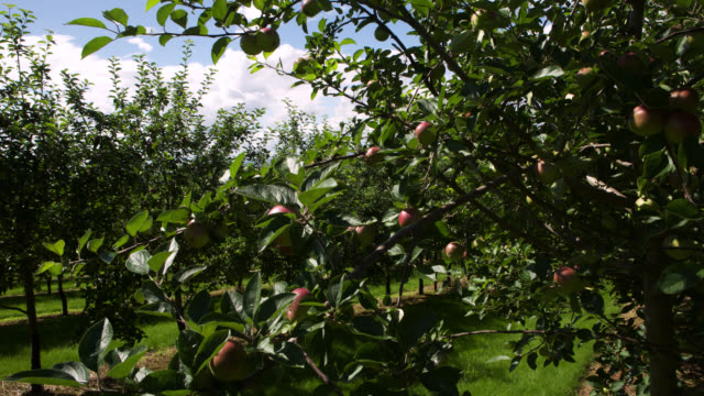 tl clouds drift over cider apple orchard, uk - apple tree stock videos & royalty-free footage
