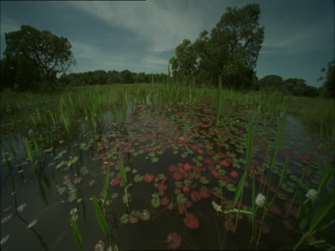 clouds drift quickly over a swamp filled with water lilies. - wasserpflanze stock-videos und b-roll-filmmaterial