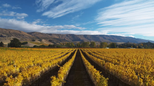 vidéos et rushes de ws t/l clouds moving above vineyard in autumn / central otago, new zealand - raisin