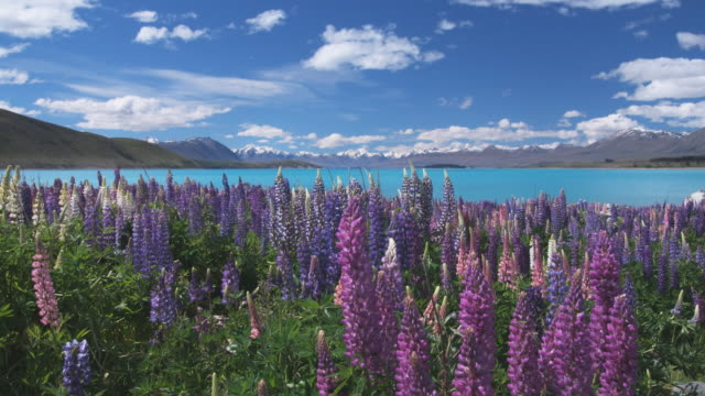T/L, WS, Clouds over Lake Tekapo and mountains, blooming Lupines in foreground, South Island, New Zealand