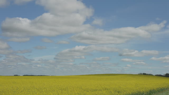 WS TL Clouds passing over field of yellow wildflowers/ North Dakota