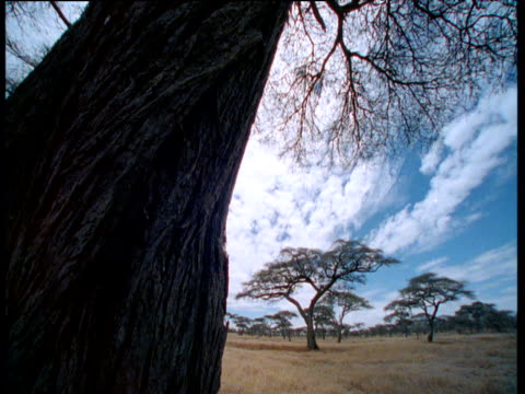 clouds scud over acacia scrub, tree trunk in foreground - acacia tree stock videos & royalty-free footage