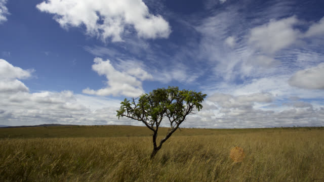 Clouds scud over lone tree on cerrado grassland.