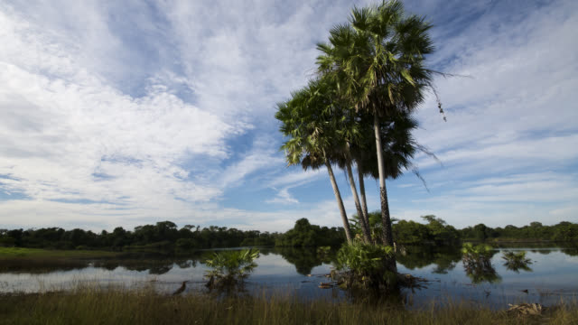 Clouds scud over palm trees, Rufescent tiger heron (Tigrisoma lineatum) feeds at waters edge.