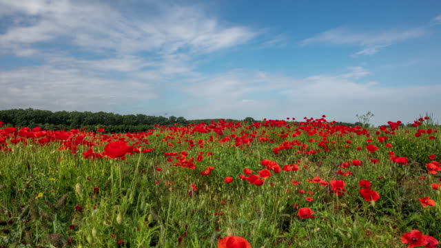 t/l cloudscape over a field of wild poppy - wildflower stock videos & royalty-free footage