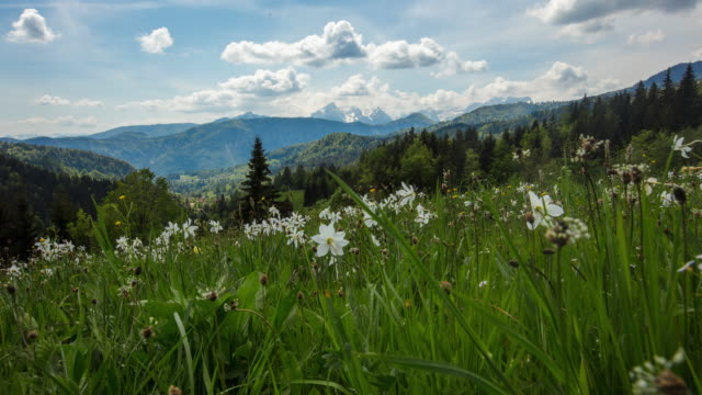 t/l cloudscape over daffodils in mountains, golica slovenia - wildflower stock videos & royalty-free footage