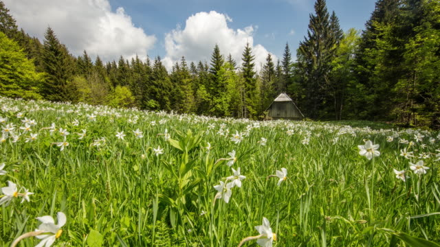 t/l cloudscape over meadow of daffodils. golica slovenia - paperwhite narcissus stock videos & royalty-free footage