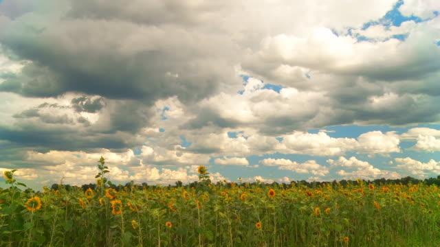 HD TIME LAPSE: Cloudscape Over Sunflower Field