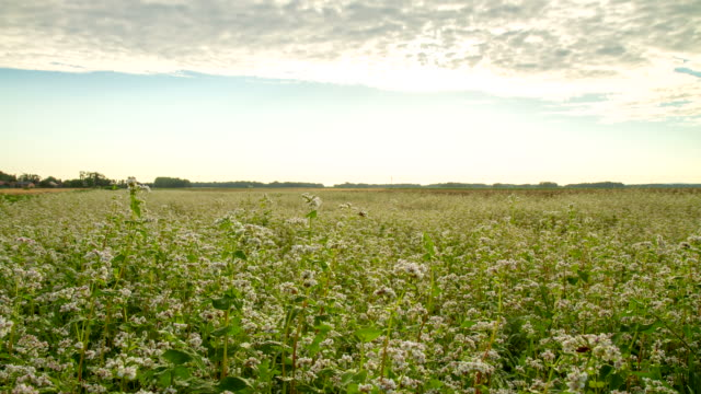 t/l cloudscape over the field of buckwheat - buckwheat stock videos & royalty-free footage