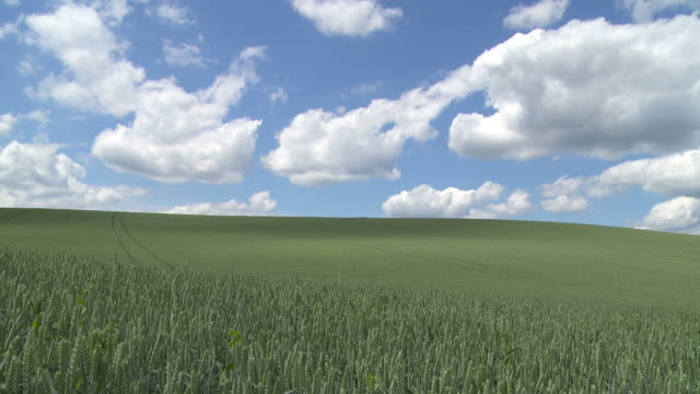 Cloudy sky above green grain field