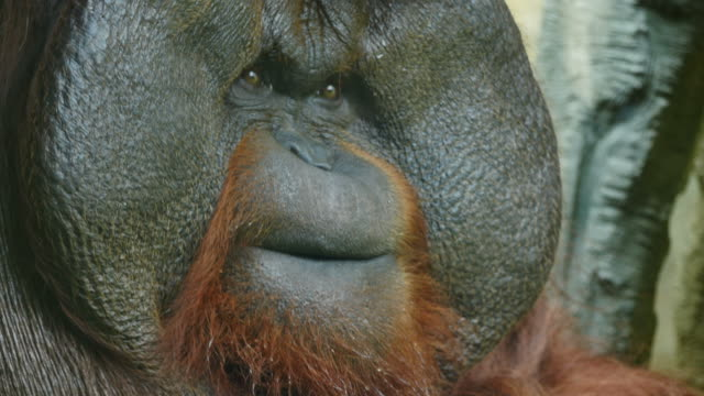 clouse-up on orangutan. - ape stock videos & royalty-free footage