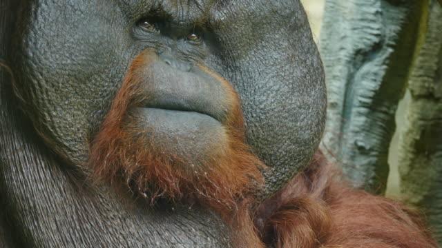 Clouse-up on orangutan.