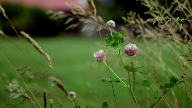 Clover Flowers And Tall Grass On Windy Day Stock Footage