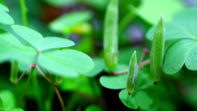 clover growing in time lapse - clover leaf shape stock videos and b-roll footage