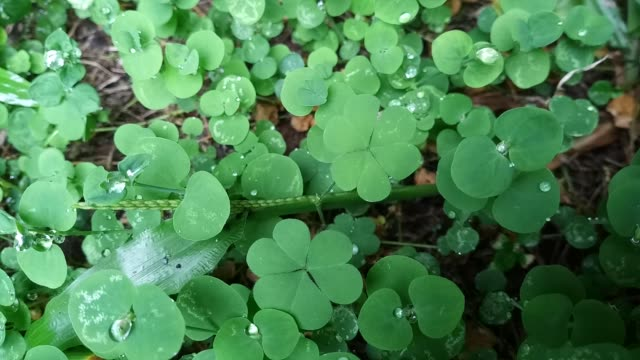 clover leaf with dew drop - clover leaf shape stock videos and b-roll footage