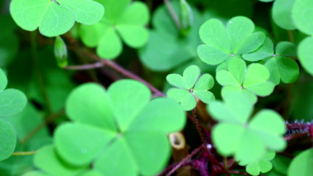 vídeos de stock e filmes b-roll de clovers growing in time lapse - trevo de quatro folhas