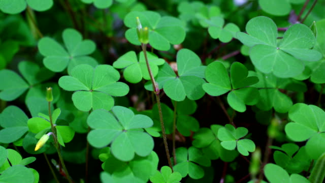 clovers growing in time lapse - clover leaf shape stock videos and b-roll footage