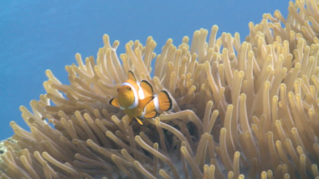 stockvideo's en b-roll-footage met clown anemone fish (amphiprion ocellaris) in anemone, low angle. defence strategy. closer nice portrait  - clownvis