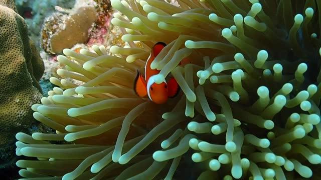 clown anemonefish (clown fish) - ヨウジウオ科点の映像素材/bロール