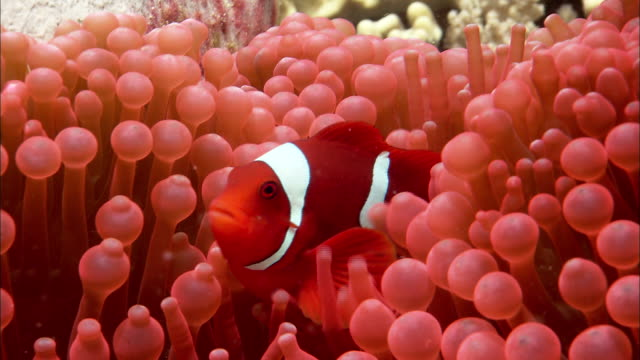 clown anenomefish (amphiprion ocellaris) and host anenome on reef, west papua, indonesia - coral cnidarian stock videos & royalty-free footage