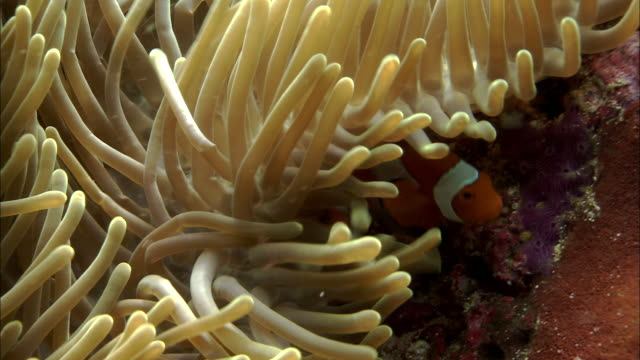 stockvideo's en b-roll-footage met clown anenomefish (amphiprion ocellaris) and host anenome on reef, west papua, indonesia - clownvis