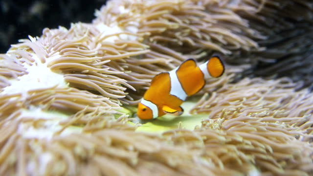 clown fish - amphiprion and sea anemone in tank. - coral cnidarian stock videos & royalty-free footage
