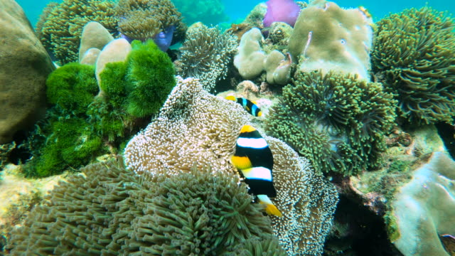 clown fish and anemone flower undersea - anemonefish stock videos & royalty-free footage