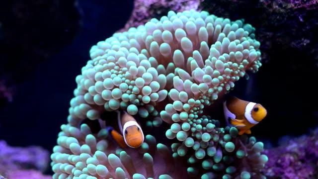 vidéos et rushes de anémone de mer et poisson-clown à trois bandes - poisson clown à trois bandes