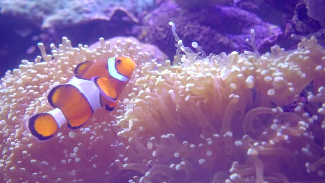 Clown vis en zeeanemonen In aquarium