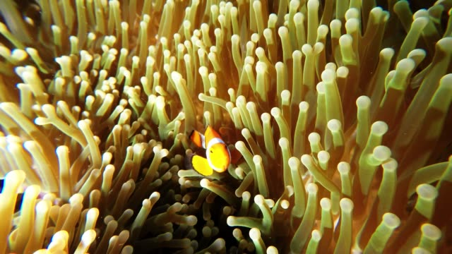 clown fish are some of the most recognizable fish in the ocean we cheered throughout disney's finding nemo a movie that centered around a lovable... - anemonefish stock videos & royalty-free footage