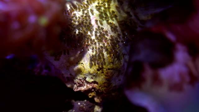 vídeos y material grabado en eventos de stock de cría, huevos, incubación de peces payaso - huevo comida básica