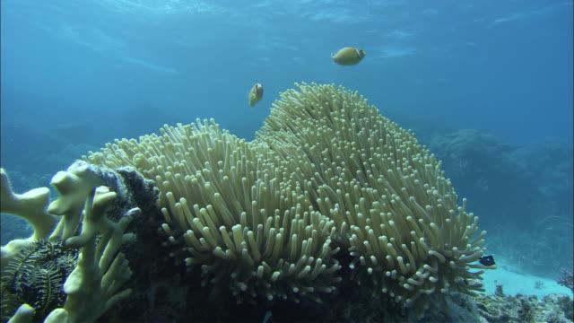 clown fish dart around a sea anemone. - clown fish stock videos & royalty-free footage