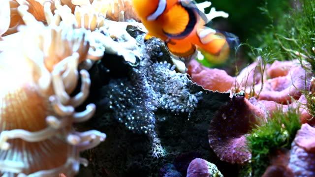 clown-fisch hatching - anemonenfisch stock-videos und b-roll-filmmaterial