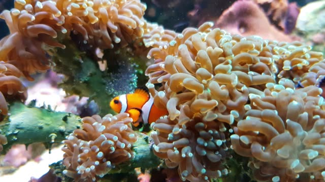 clown fish hatching - sea anemone stock videos & royalty-free footage